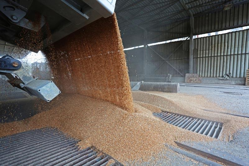 nestala pšenica